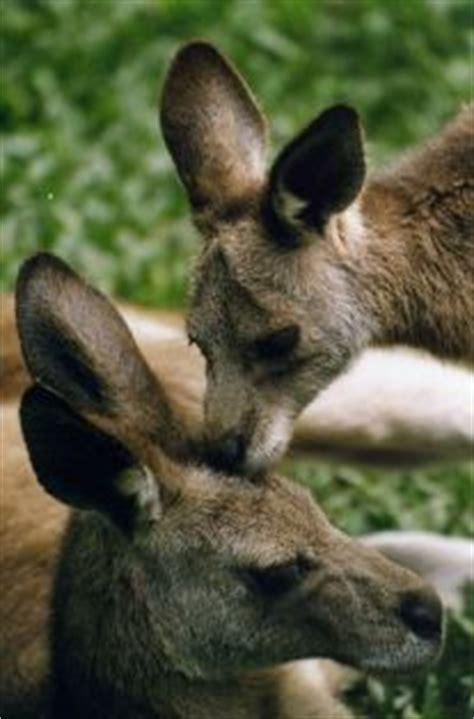 animals red kangaroo