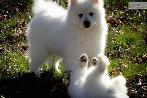 male keeshond puppy  sale  nashville tennessee