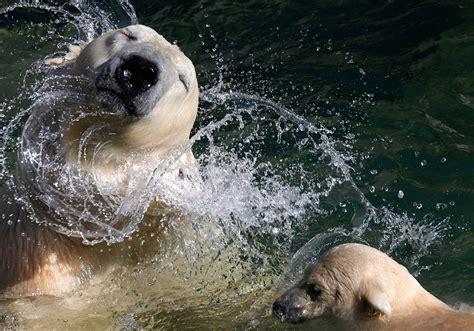 reluctant polar bear cub   swim  leningrad zoo
