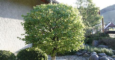 Vorgarten Baum Immergrün by 10 Tipps Zur Gartengestaltung Mit B 228 Umen Mein Sch 246 Ner Garten