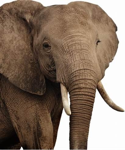 Elephant Gambar Gajah Transparent African Lengkap Elephants