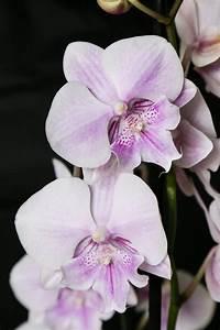 Orchidee Klebrige Tropfen : neuer trend phalaenopsis orchidee 39 big lip 39 majas ~ Lizthompson.info Haus und Dekorationen