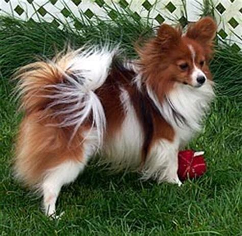 papillon coat color