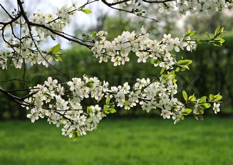 Branch of a blossoming tree with white flowers Stock