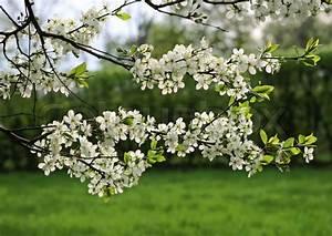 Baum Mit Blüten : zweigniederlassung einer bl henden baum mit wei en bl ten stockfoto colourbox ~ Frokenaadalensverden.com Haus und Dekorationen