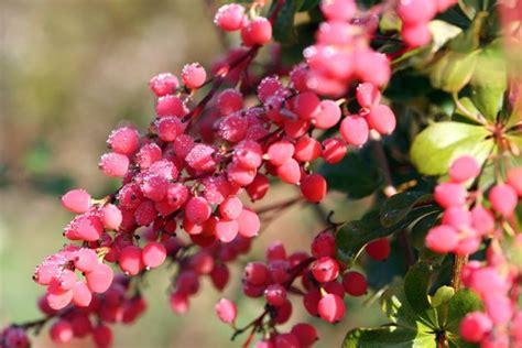 stauden die im winter blühen pflanzen die im winter farbe zeigen blumen b 228 ume garten str 228 ucher garten und berberitze
