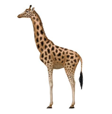 draw animals zebras  giraffes tutorials animal