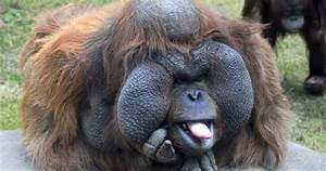 All Funny,Cute,Cool and Amazing Animals: Funny Orangutan ...  Funny