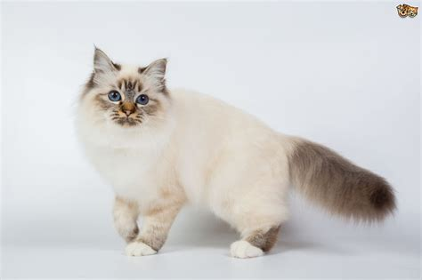 Birman Cat Breed Information, Buying Advice, Photos And