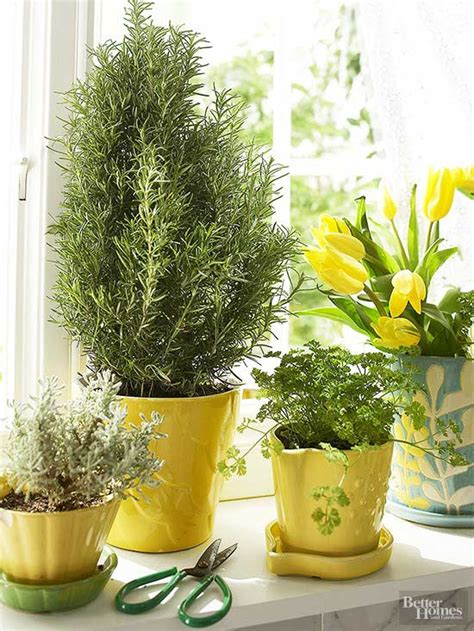 Growing Herbs Inside by How To Grow Herbs Indoors When All You Ve Got Is A