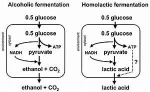 Lactic Acid And Alcoholic Fermentation Produce
