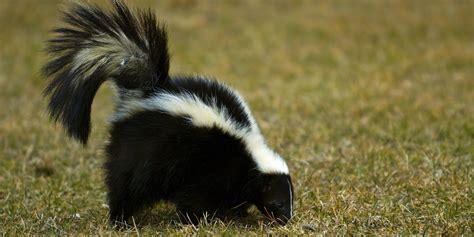 Skunk Spray Related Keywords Skunk Spray Long Tail