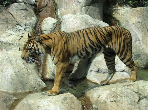 tiger  stock photo  sumatran tiger walking
