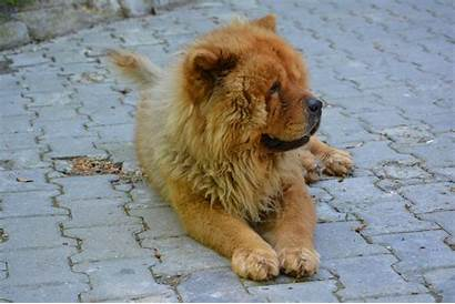 Lion Dog Chow Puppy Breed Tibet Chiot
