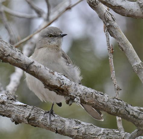 northern mockingbirds found in snowy southern ontario