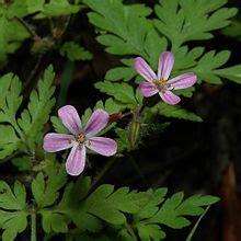 geranium herbe  robert wikipedia