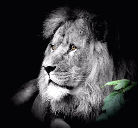 Free Images Black And White Zoo Mane Fauna Lion