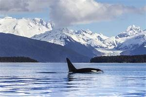 An Orca Whale surfaces in Lynn Canal Herbert Glacier