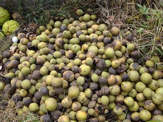 Food Pantries In Kcmo Kcmo Waldo Area Black Walnuts After The Harvest
