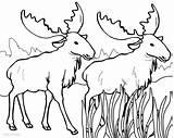 Moose Coloring Pages Elk Drawing Antlers Printable Bull Cool2bkids Getdrawings sketch template