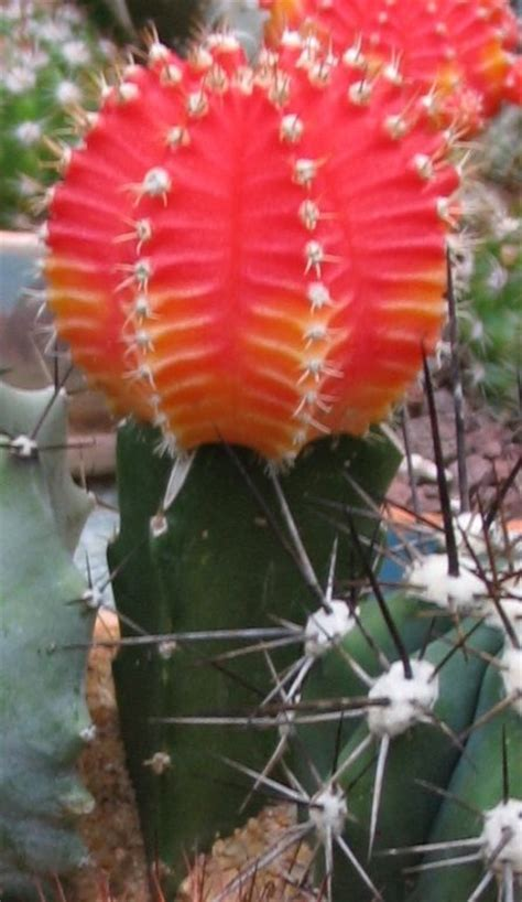 grafted cactus grafted cactus photos