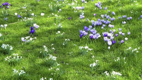 Tips For Growing Crocus In The Yard