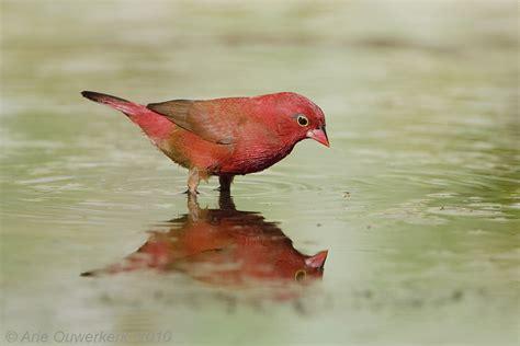 Red-billed Firefinch - Vuurvink - Lagonosticta senegala ...