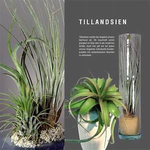 Tillandsien Im Glas : aussteller g rtnerei hohn gmbh co kg ipm essen ~ Eleganceandgraceweddings.com Haus und Dekorationen