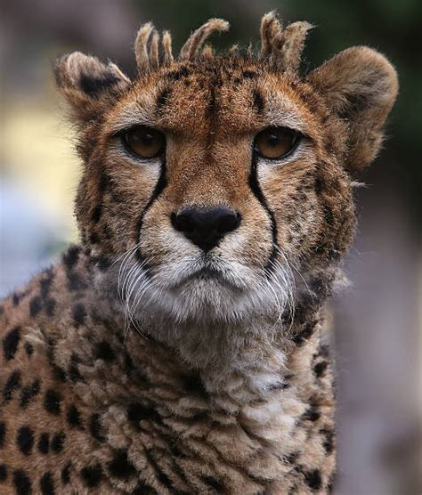 Cheetah Black Background Stock Photos, Pictures & Royalty ...