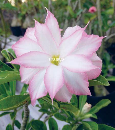 tergoda mawar gurun majalah pertanian