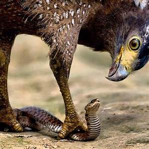 An Eagle Does Not Fight A Snake On The Ground  It Picks It