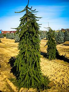 Weeping Norway Spruce For Sale Online | The Tree Center  Weeping