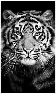 White Tiger Wallpapers ·① WallpaperTag
