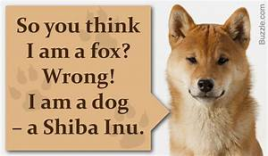 dog breeds that look like foxes