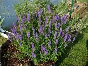 La Sauge Plante : la sauge cette amie qui vous veut du bien page 2 of 2 page 2 ~ Melissatoandfro.com Idées de Décoration