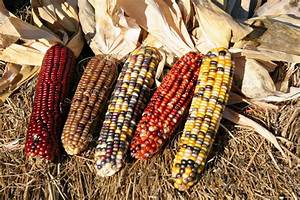 Corn, Indian (110 Days) American Seed Co