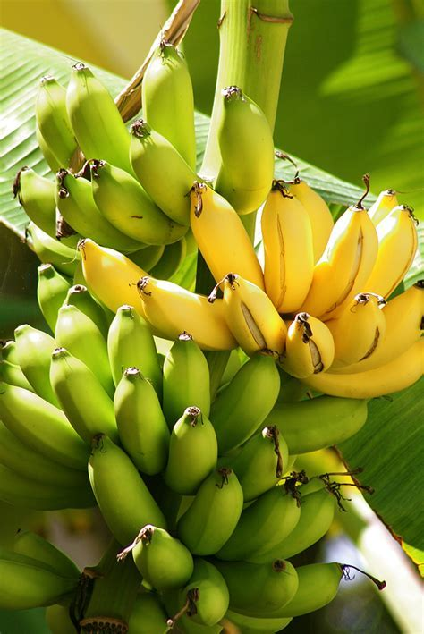 Banana: Kitchen Basics   Harvest to Table