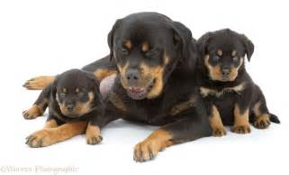 Rottweiler Puppies and Mother