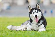 Cute Husky Dogs Wallpaper