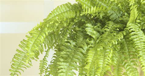 are maidenhair ferns toxic to cats