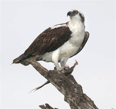 Images Of Osprey Osprey Perched Raptor 183 Free Photo On Pixabay