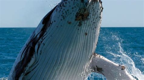 worlds largest humpback whale population booming