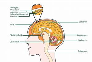 The Brain - Structure And Function