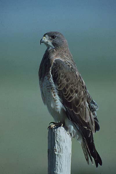 swainson s hawk buteo swainsoni