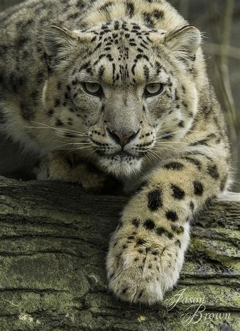 Best Images About Big Cats Pinterest Tiger Cubs
