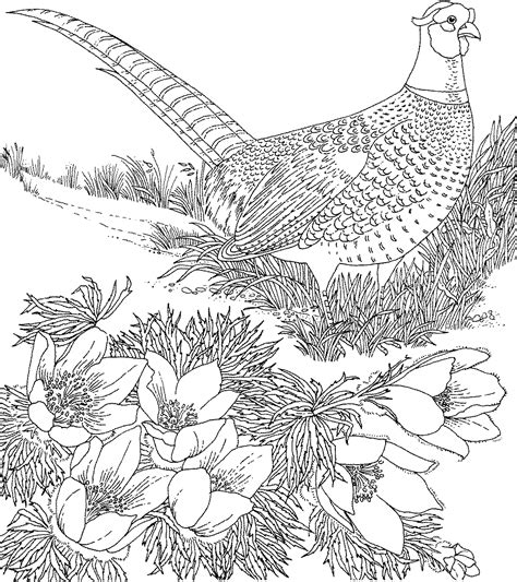 Pheasant Google Search Line Drawings For Literacy