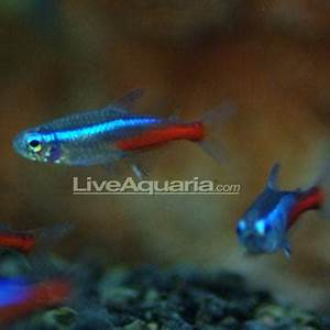 Image Gallery neon tropical fish