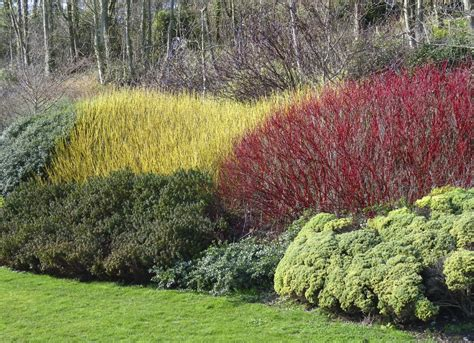 twig dogwood red twig dogwood curb appeal landscaping 10 fast growing plants for an instantly better yard