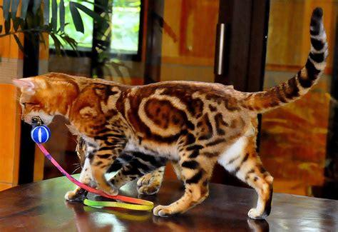 aneka pola warna kucing ras persia  lainya info kucing persia anggora  gambar foto