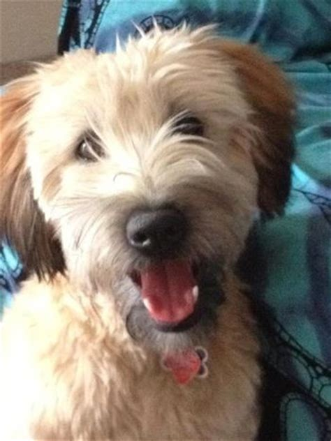 roam the soft coated wheaten terrier at 8 months old